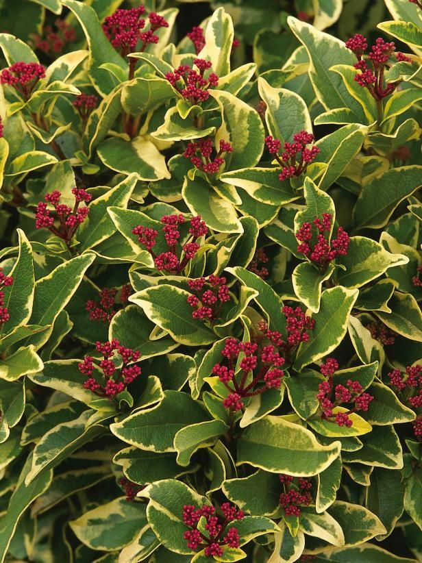 Twenty Evergreen Shrubs For Non-Stop Color #immergrünesträucher