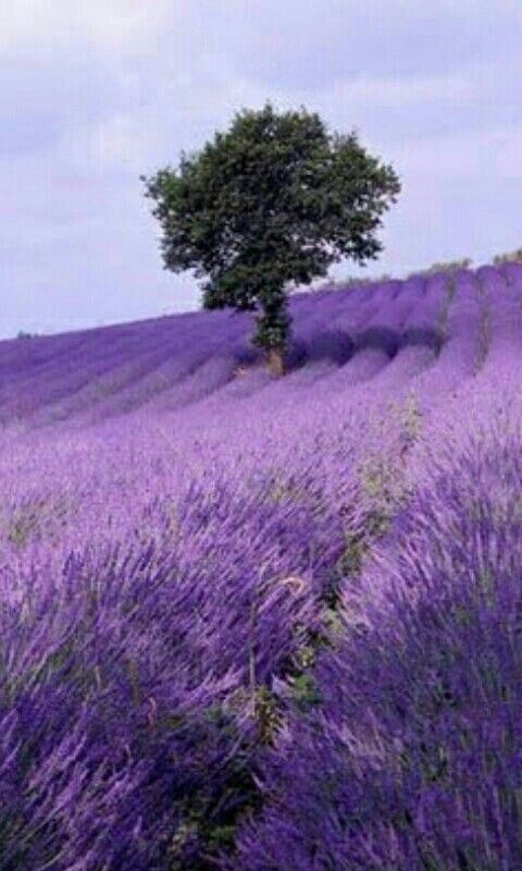 Kebun Tanaman Lavender