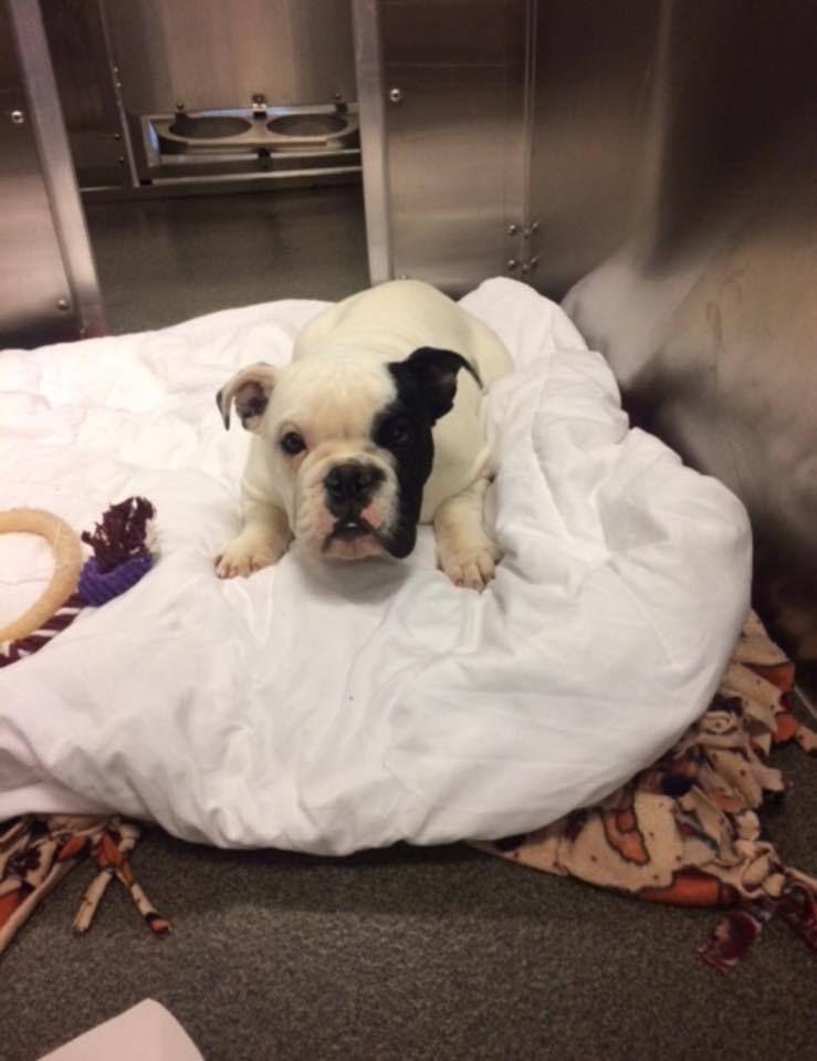 Adopt Pearl on English bulldog, English bulldog dog