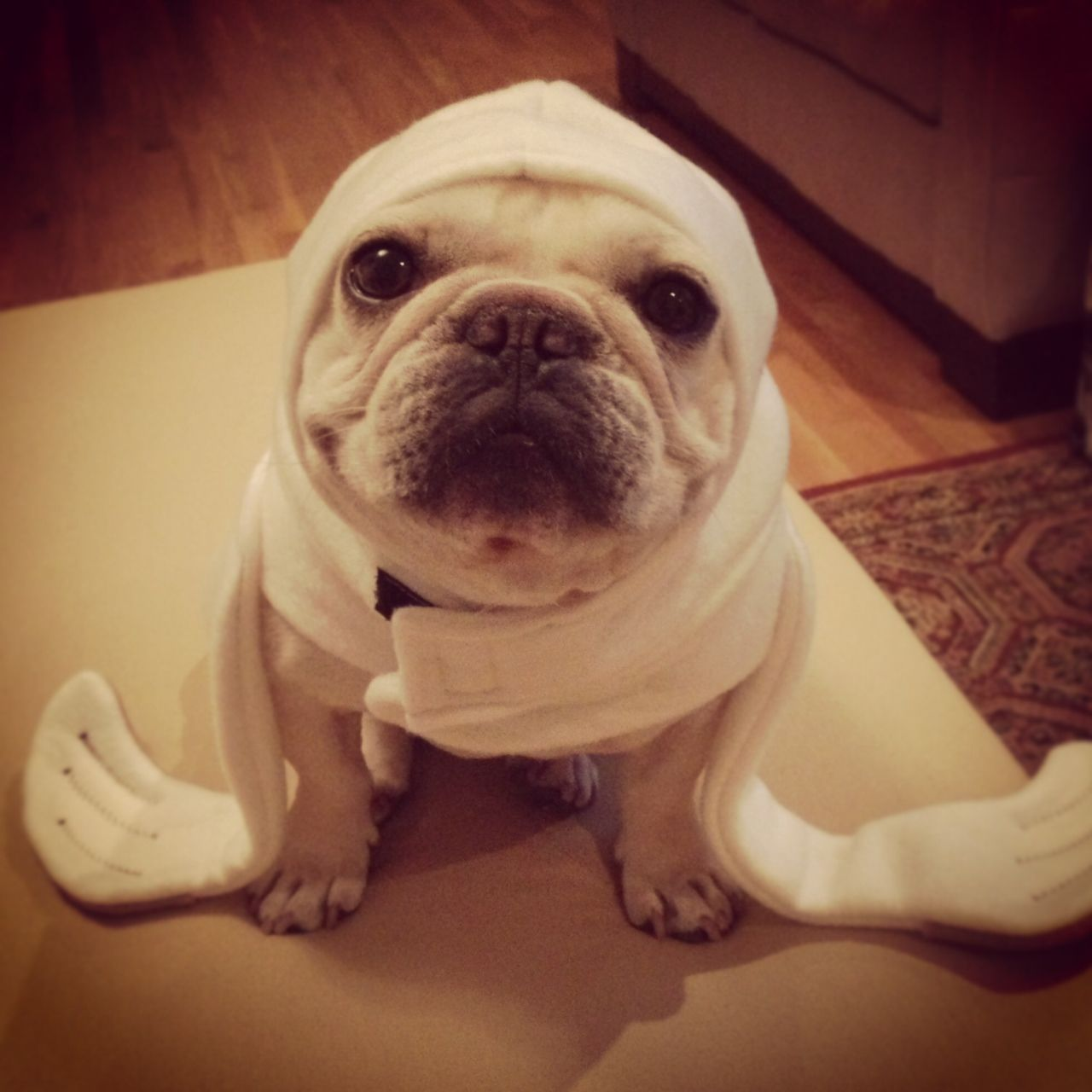 Are you ready for Halloween? French Bulldog in a seal costume ...
