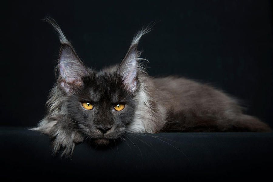 Maine Coon Cats Like Majestic Mythical Beasts by Robert Sijka, http://babepup.com/maine-coon-cats/ Check more at http://babepup.com/maine-coon-cats/
