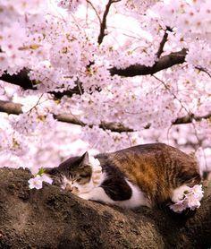 Znalezione obrazy dla zapytania sakura tree cat