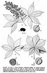 Buckeye Tree Coloring Tree Buckeye Tree Coloring Pages