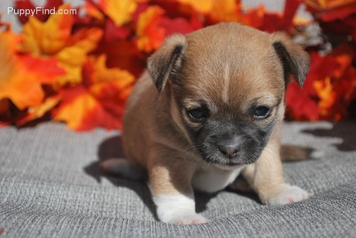 Rosegirl Bl Female Chihuahua For Sale In Harrisburg Pa