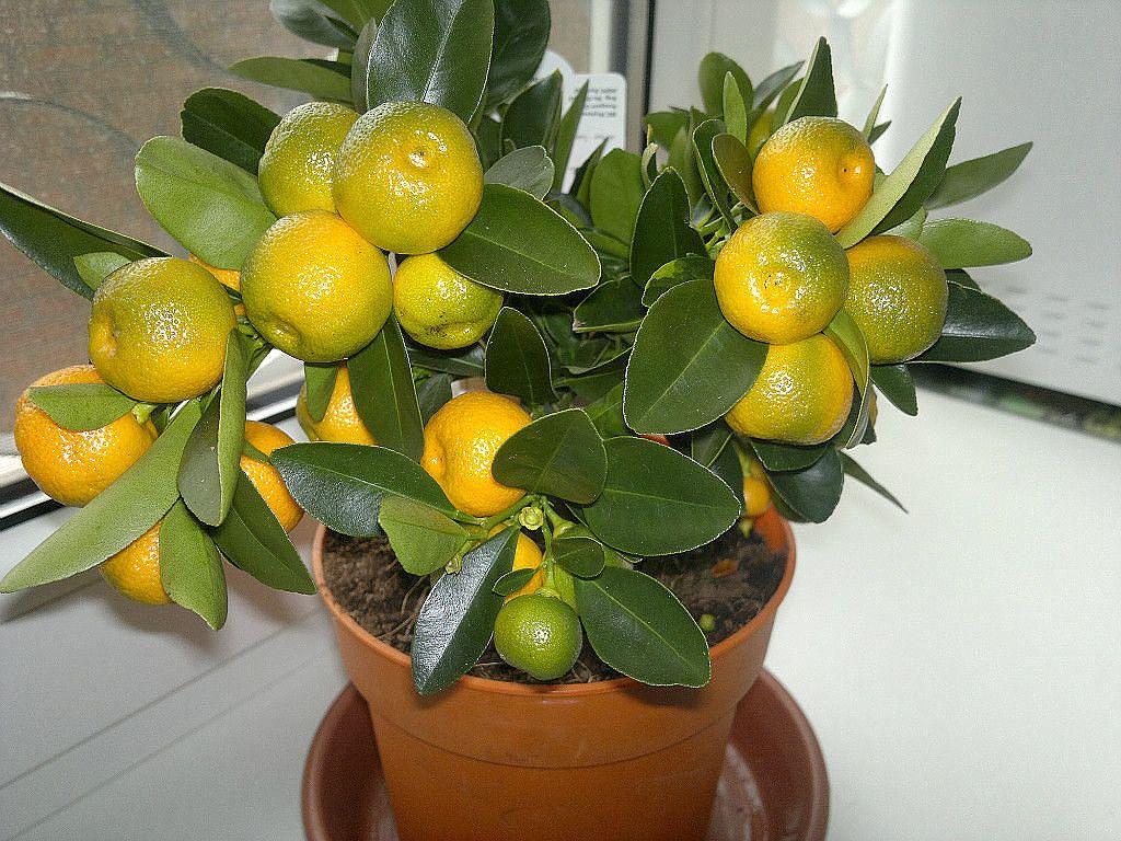 Для посадки мандарина вам будут необходимы семена, а точнее косточки, которые можно «добыть», приобретя в магазине несколько спелых мандаринов. Для успешности ...