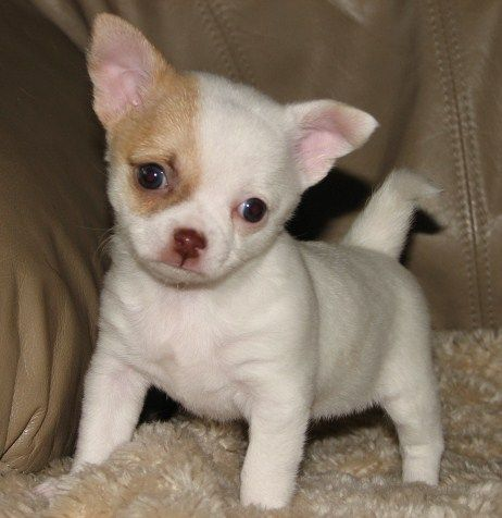 Cherry X Rio Chocolate Sable And White Smoothcoat Chihuahua Puppy