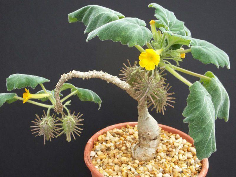 Plants & Seedlings Caudex Forming Succulent Schizobasis Intricata Seeds