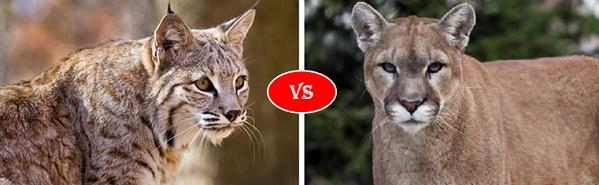 puma vs cougar