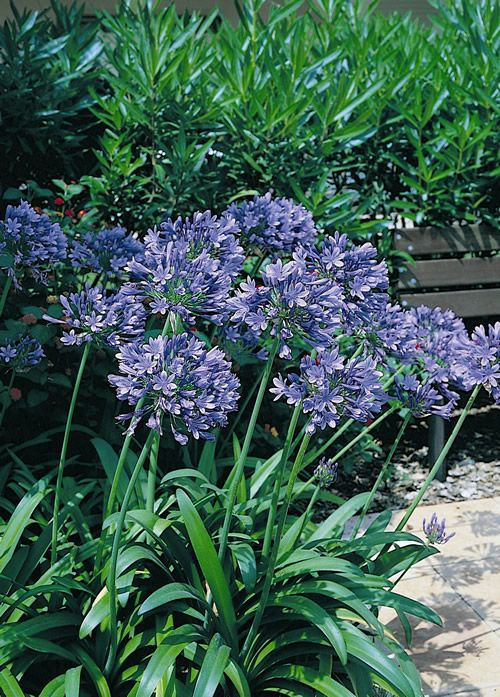 Agapanthus Orientalis Blue Lily Flower Seeds Flowers Perennials Plants