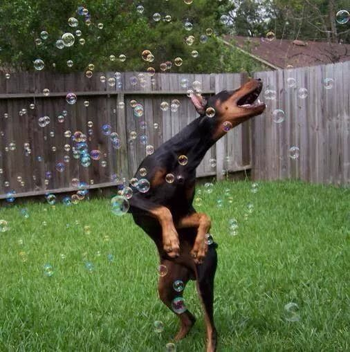 Dobies Love Bubbles Doberman Dogs