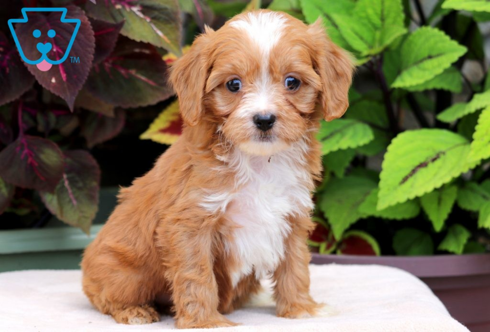 Jill Cute Baby Puppies Cavapoo Puppies Puppies For Sale