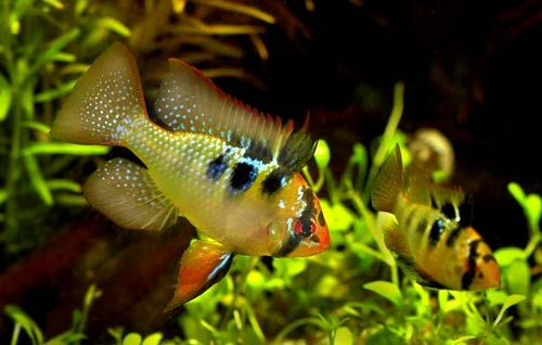 Ram Fish Breeding Fish Live Bearers Loaches Rainbow Fish Others Fish Profiles Stats Fish Breeding Aquarium Fish Fish