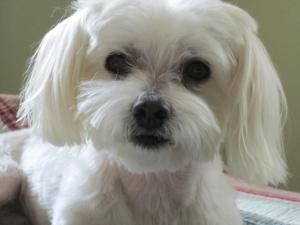 Adopt Salty Adopted On Maltese Dogs Rescue Puppies Pets
