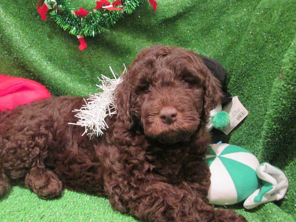 Labradoodle Puppies For Sale. Labrador Retriever X Poodle