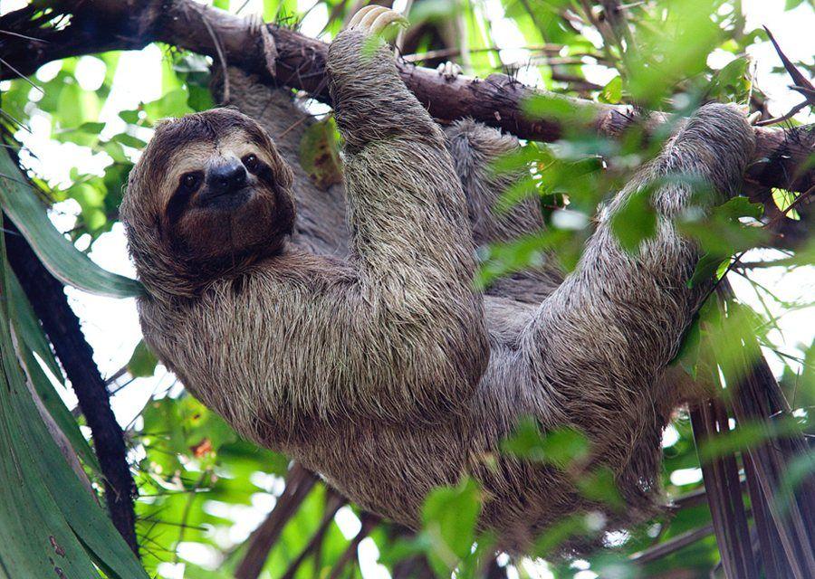 Three Toed Sloth In Costa Ricas Manuel Antonio National Park