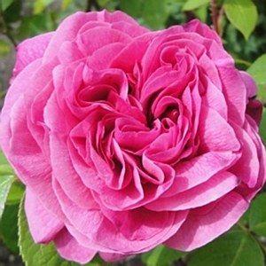Rosa 'Gertrude Jekyll' 6L: Position: Full sun or partial shadeSoil: Fertile, humus-rich, moist, well-drained soilFlowering Period: June to SeptemberSc