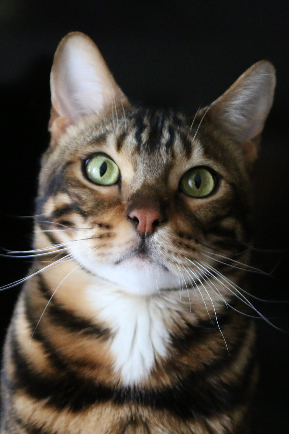 Bengal Cat Breed Information, Videos, Behavior and Care in