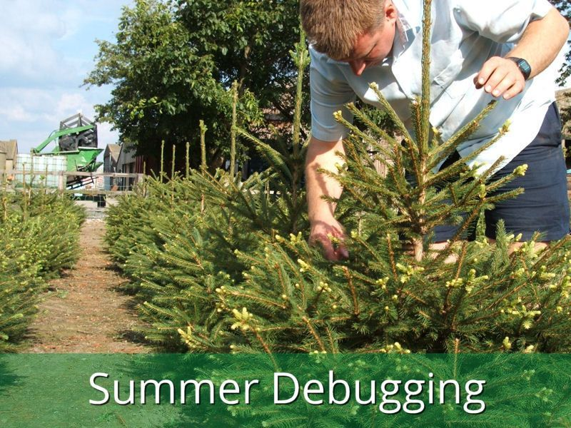 Real Christmas Trees from the Billingley Christmas Tree Farm - Debugging The Trees Real Christmas Trees Pinterest Real