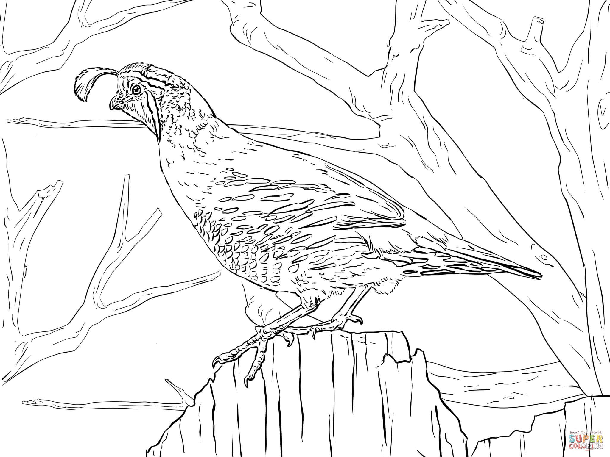 realistic california quail coloring page free printable coloring