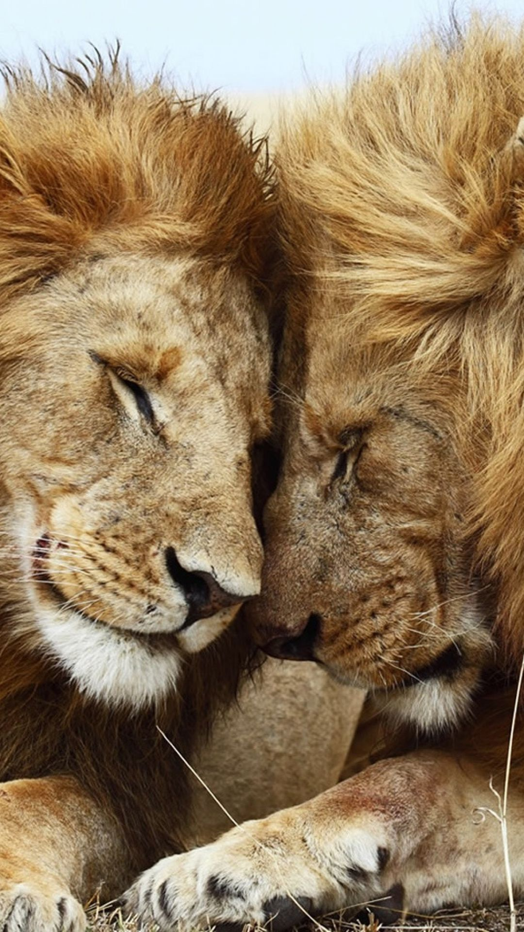 1080x1920 Wallpaper Lion Cat Couple Mane Rest Animals Animals Beautiful Cute Animals