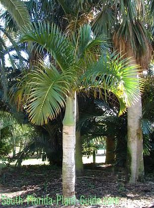 Spindle Palm Hyophorbe Verschaffeltii Florida Palm Trees Palm Tropical Garden