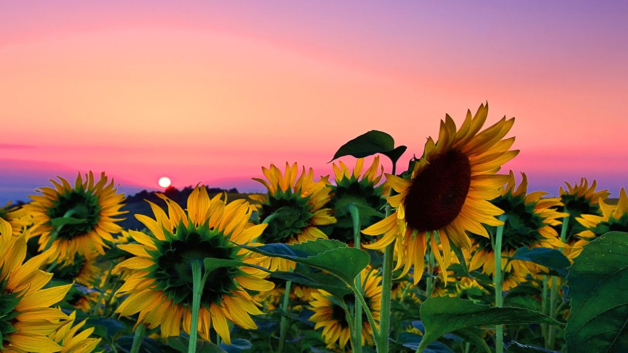 Download Sunflower Field Desktop Background Is Cool
