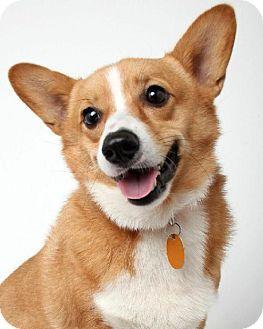 Edina, MN - Pembroke Welsh Corgi. Meet Willie Magee D141332, a dog for adoption. http://www.adoptapet.com/pet/11953060-edina-minnesota-pembroke-welsh-corgi