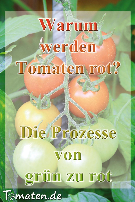 Wieso Werden Tomaten Rot Tomaten Tomaten Sorten Nicht Essen