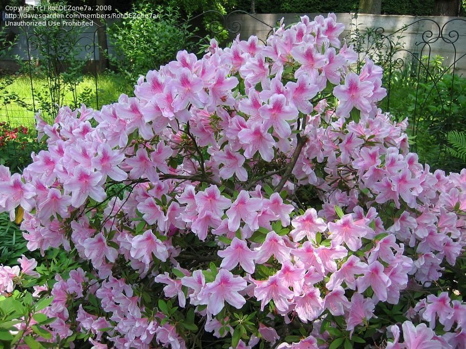 Satsuki Azalea George L Taber Rhododendron Indicum Grows 8 10 Evergreen Would Need To Double Check Azaleas Rhododendron Indicum Landscape Decor Diy
