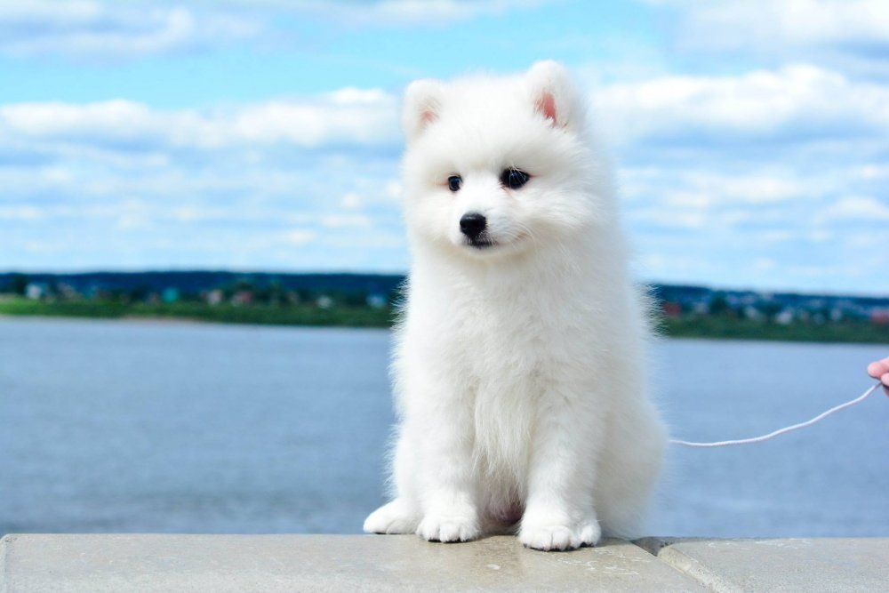 Japanese Spitz Small Dog With A Big Personality Cute Small Dogs