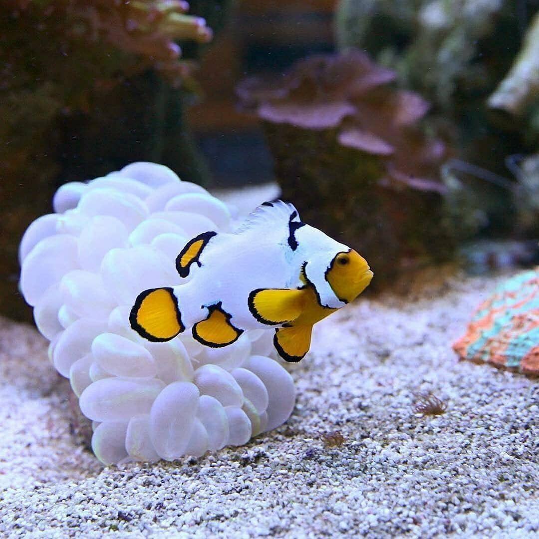 This Handsome Little Fella Is A Picasso Clownfish Clown Fish Saltwater Aquarium Fish Beautiful Sea Creatures