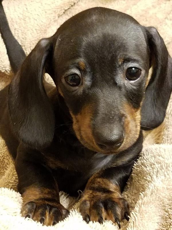 Adorable Dachshund Puppies For Sale Pick A Puppy Bismarck Nd