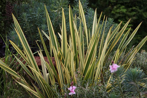 Phormium Apricot Queen New Zealand Flax Plants Small Gardens New Zealand Flax