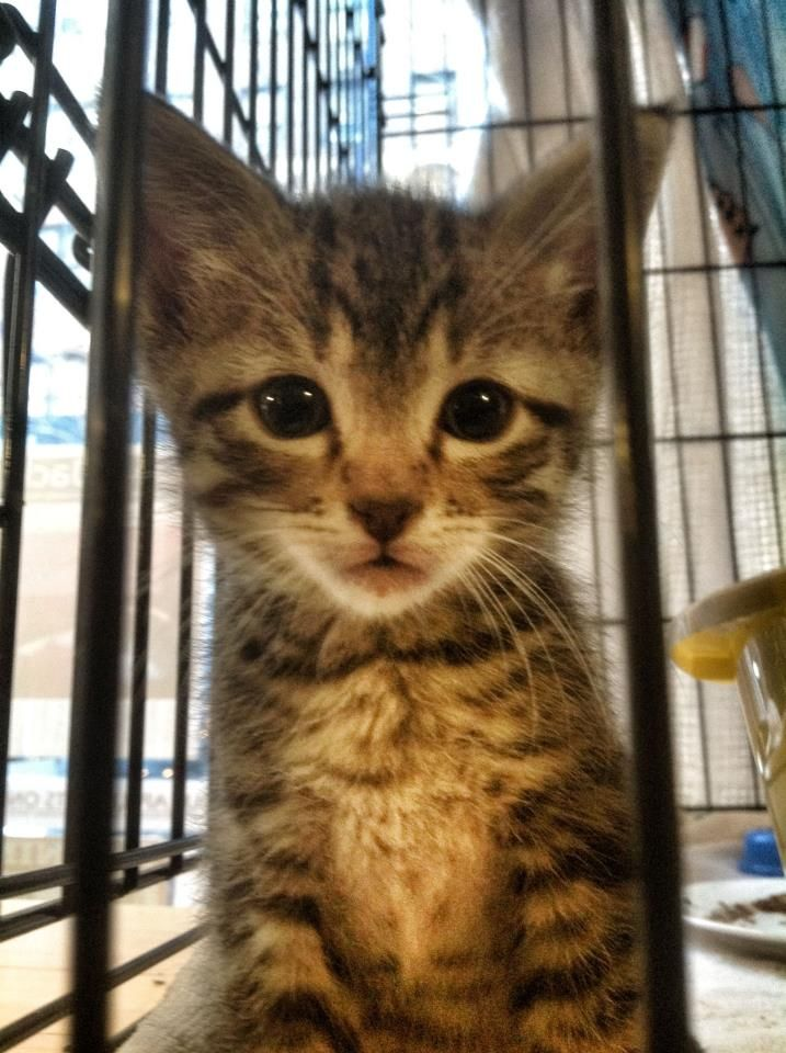 Pin On Kittens Up For Adoption In Nyc