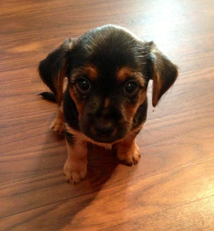 Black Lab Yorkie Mix Baby With Images Dogs Yorkie Mix