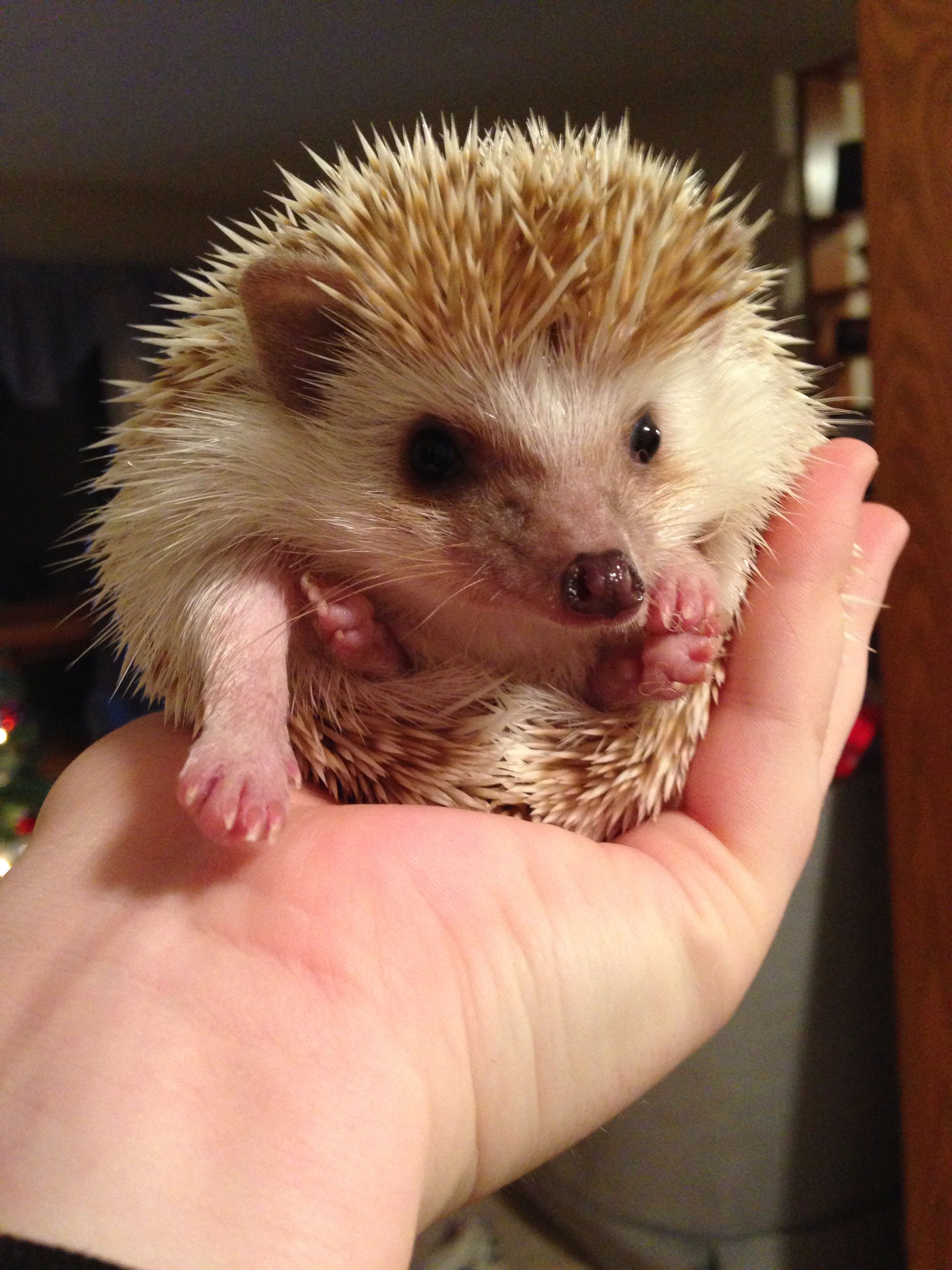 Basil The Hedgehog Cute Hedgehog Cute Animals Hedgehog