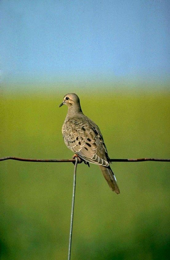 Texas Dove- Photo TPWD   Texas animals, Backyard birds ...