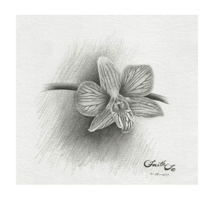 Pencil Drawings Orchid Sketch No 1 Dendrobium Pencil Drawing