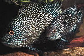 Texas Cichlid | Central American | American Cichlids | Fish | Smiths Aquarium