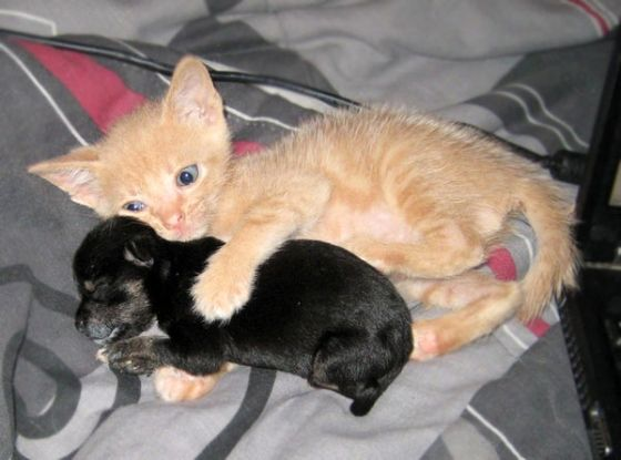 Ginger Foster Kitten Named Cheech Was Introduced To A Teeny Tiny