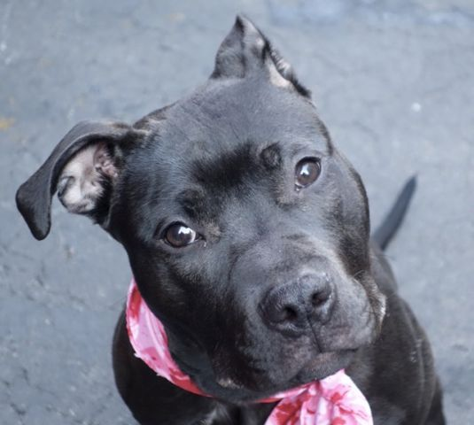 Manhattan Center ANAIS – A1058854 FEMALE, BLACK / BROWN, PIT BULL MIX, 10 mos STRAY – STRAY WAIT, NO HOLD Reason STRAY Intake condition EXAM REQ Intake Date 11/24/2015, From NY 10451, DueOut Date 11/28/2015,