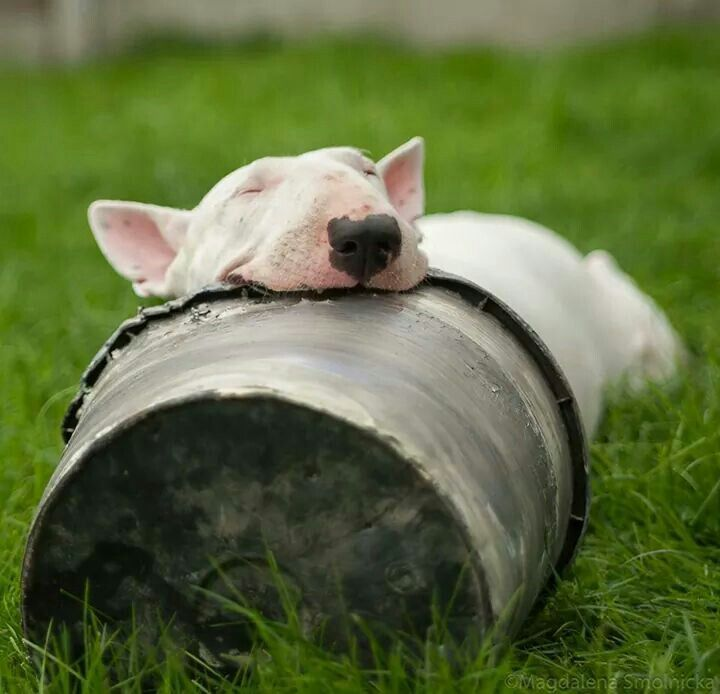 white english bull terrier face. les bull terriers sont des chiens trs excentriques la preuve ils dorment dans white english terrier face