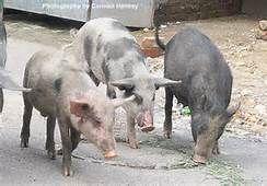 sweet pigs - Bing Images