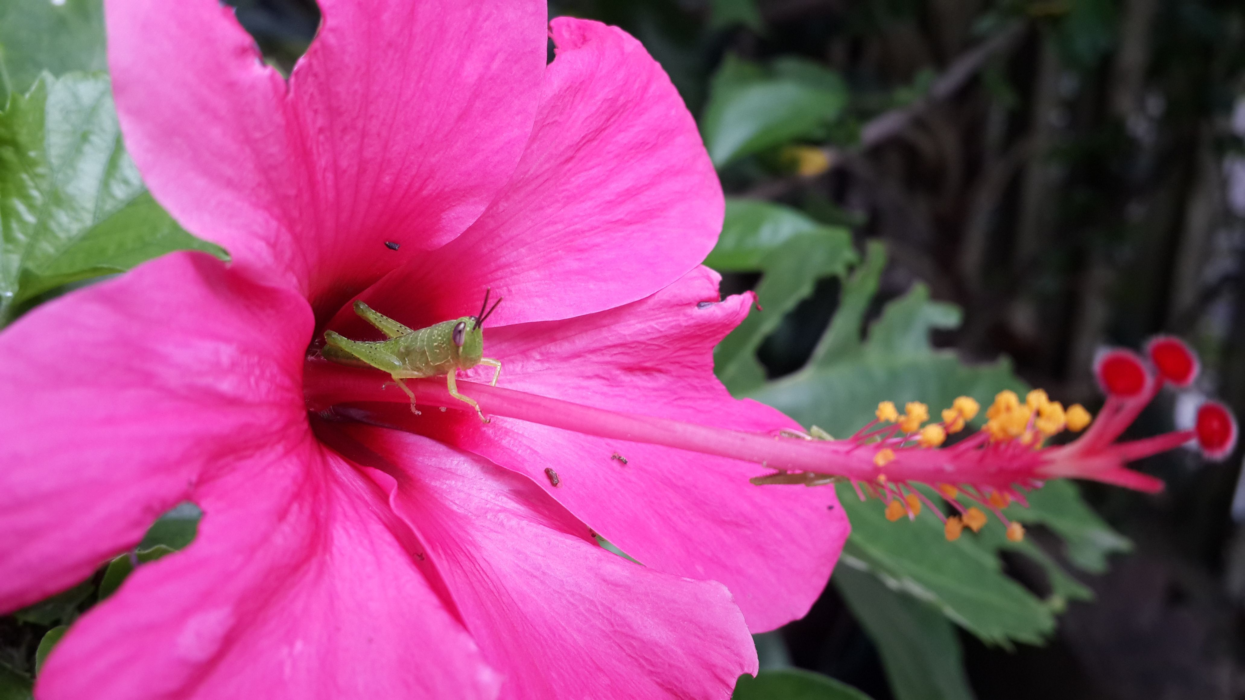 Gambar Setangkai Bunga Kembang Sepatu Newer Post Older Post Home Disini Ada Beberapa Wallpaper Bunga Berwarna Mer Di 2020 Kembang Sepatu Bunga Kembang Sepatu Bunga
