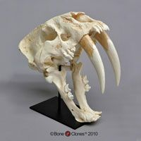 sabre tooth tiger skull