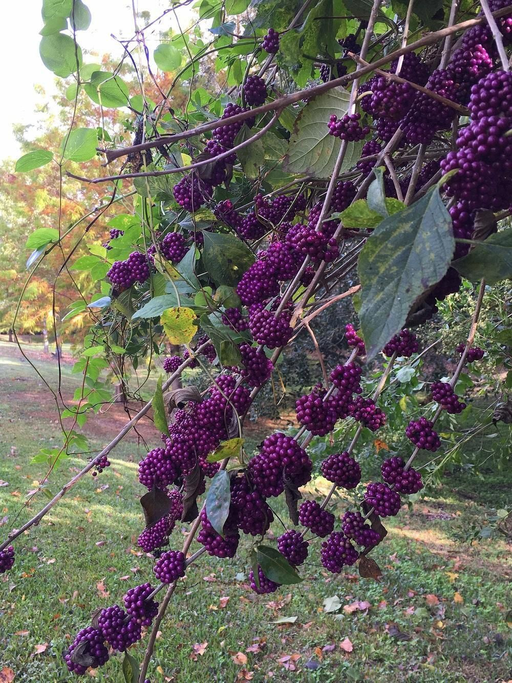 Photo Of American Beautyberry Callicarpa Americana Uploaded By Sunkissed Grapecaregrowing Honey Locust