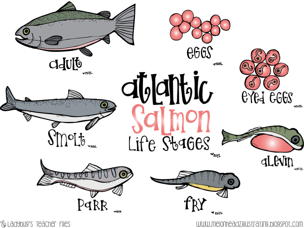 Salmon life cycle poster worksheets cycling students for Clown fish life cycle