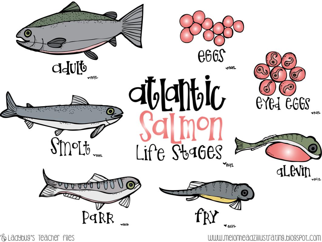 worksheet Life Cycle Worksheets Ks2 salmon life cycle poster worksheets cycling students and worksheets