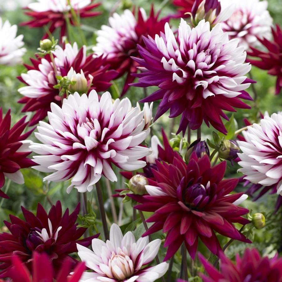 5 Count Dahlia Bulbs Lowes Com In 2020 Bulb Flowers Dahlia Flower Plants