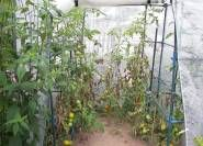 Braunfäule in den Tomaten